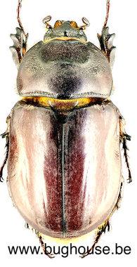 Orcytes nasicornis laevigatus (France) ♀︎