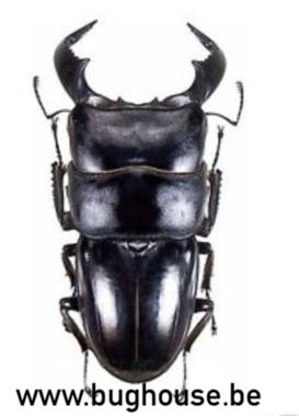 Dorcus Buchepalus (java) ♂︎