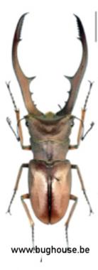 Cyclommatus Metallifer ssp. (Sulawesi) 70mm ♂︎