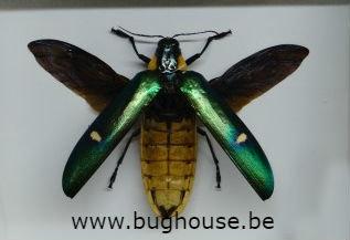 Megaloxantha Bicolor Othanii (Java) -SPREAD-