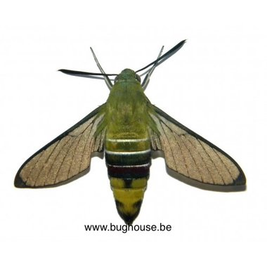 Cephonodes Hylas melanogaster (Bali)