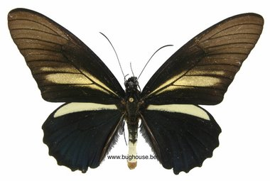 Battus crassus (Peru) ♂︎