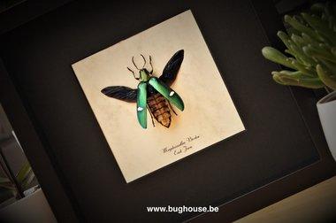Megaloxantha Bicolor framed