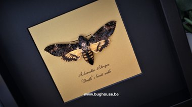 Acherontia Atropos (Death head moth) framed