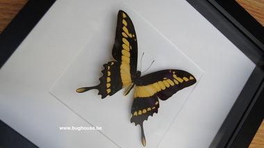 Papilio Thoas framed white