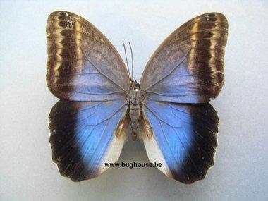 Caligo Ilioneus (Peru)