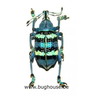 Eupholus magnificus (Numfor) Large