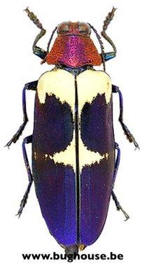 Chrysochroa buqueti rugicollis (Thailand) ♂︎/♀︎