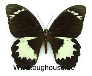 Papilio aegus ormenus (Arfak)♂︎