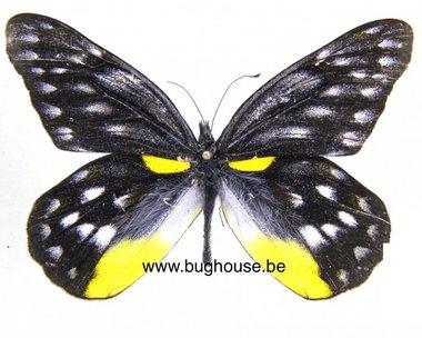 Delias belladonna (Malaysia)