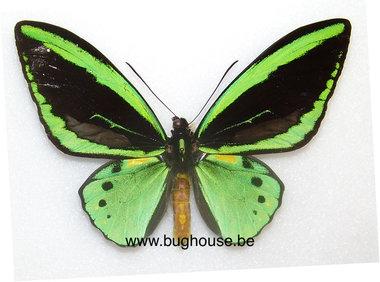 Ornithoptera Priamus poseidon pair  (indonesia) **cites**