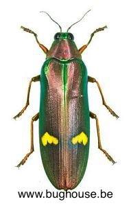 Megaloxantha hemixantha (Malaysia)