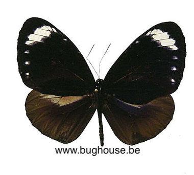 Euploea Tulliolus Pollita (Filipijnen)