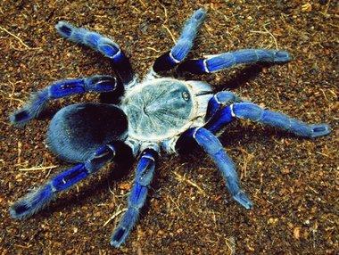 Haplopelma Lividum Cobalt Blauw (Thailand)