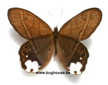 Pierella astyoche lucia (Peru)