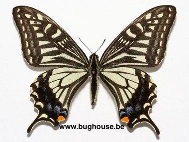 Papilio xuthus xuthus (Korea)