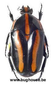 Clerota rigifica (Maleisië)