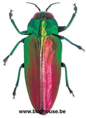 Belionota Sumptuosa (Indonesië)