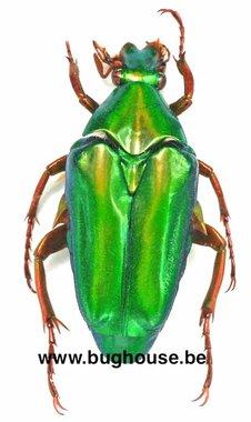 Chalcothea smaragdina (Java)