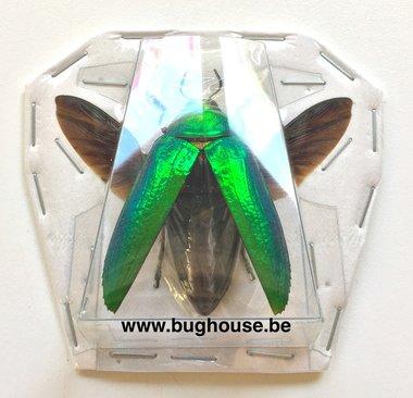Callopistus Castelnaudi (Malaysia) -SPREAD-