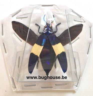 Chrysochroa castelnaudi (Perak) -GESPREID-