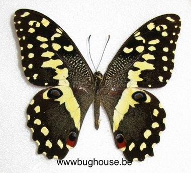 Papilio Demodocus (Madagascar) A- ♂︎