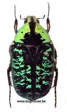 Euchroea coelestis (Madagascar)