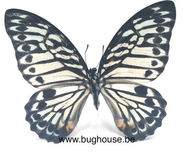 Graphium Deleserti palawanus (Philippines) PACK OF 10