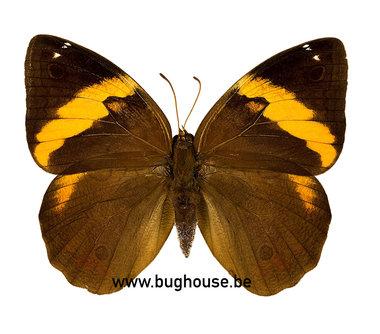 Opsiphanes Tamarindi (Columbia)