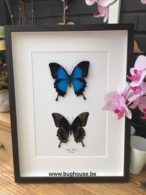 Papilio Ulysses Front and back in one frame 30x40cm
