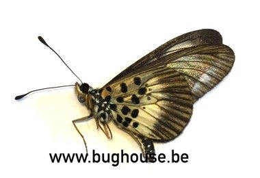 Acraea circeis (RCA)
