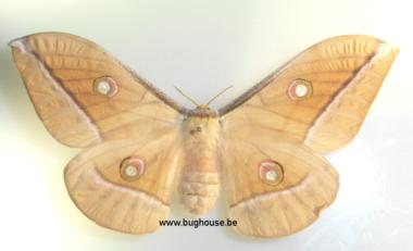 Antheraea Jana (Sulawesi)