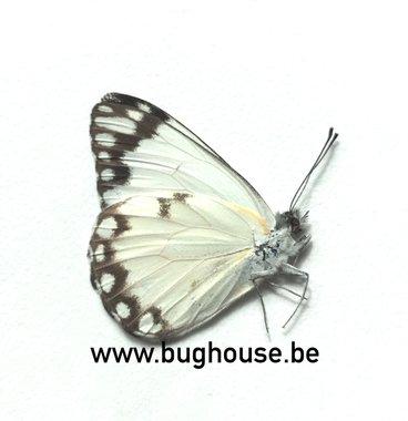 Belenois Creona prorsus (Madagascar) A-