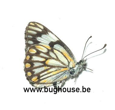 Belenois zochalia agrippinides (Madagascar) A-