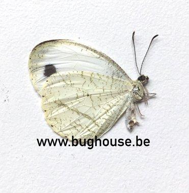 Leptosia Nina (Madagascar)