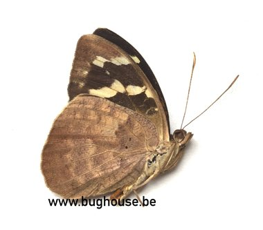 Pieridae sp.1 (Madagascar)
