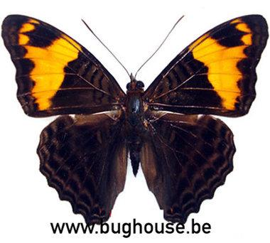 Adelpha ximena (Peru)