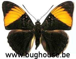 Adelpha melanthe (Peru)