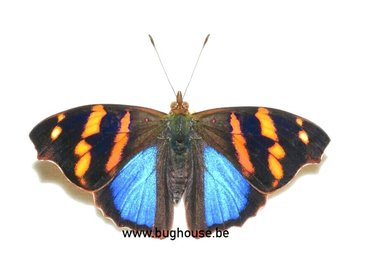 Adelpha Orea (Peru)
