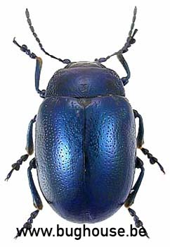 Chrysolina coerulans (Peru) Blue