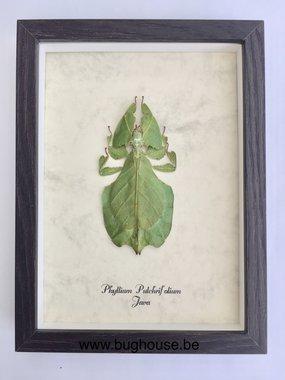 Phyllium Pulchrifolium (Java) framed