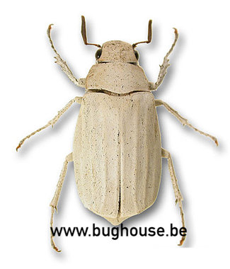 Melolonthidae sp1 (Thailand)