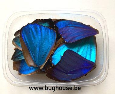 Blue morpho butterfly wings for art work