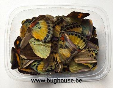 Euphaedra vlindervleugels voor hobby