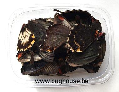 Papilio Lowi vlindervleugels