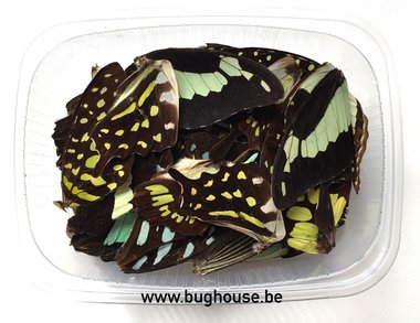 Light green butterfly wings for art work