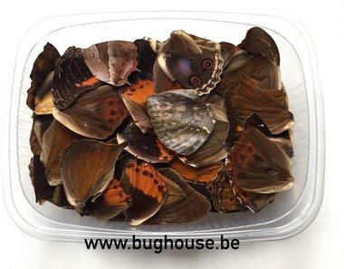 Vlindervleugels kleur : gemengd (Kleine vleugels)