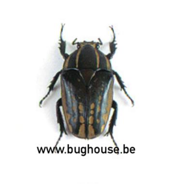 Chelorrhina polyphemus (Afrika) VROUWELIJK
