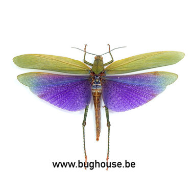 Titanacris albipes (Peru) FEMALE