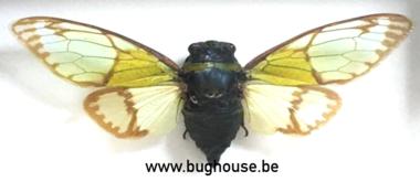 Salvazana mirabilis mirabilis (Thailand)
